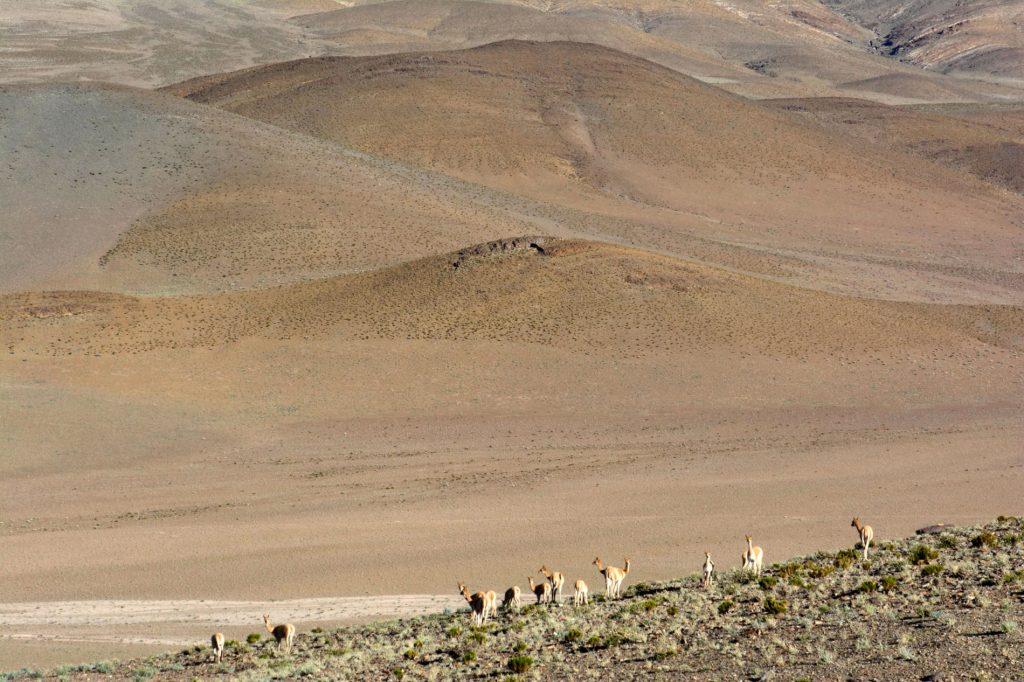 Vigognes dans la Puna, Province de Catamarca, Argentine