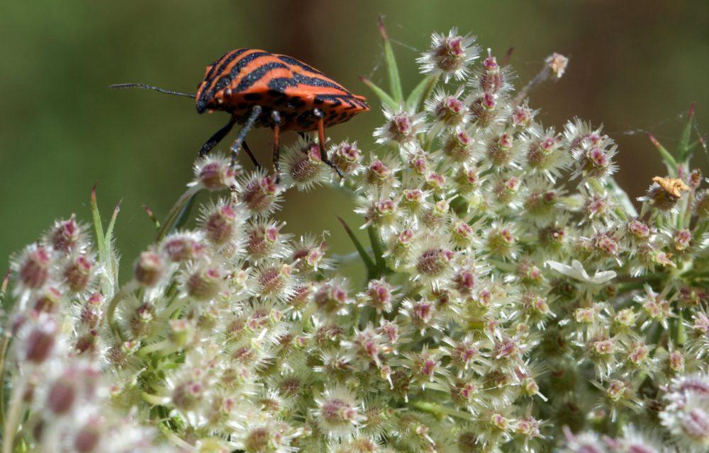 Graphosome d'Italie, Graphosoma italicum